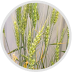 Crop Seed Quality Test