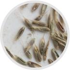 Weed Resistance Seed Test